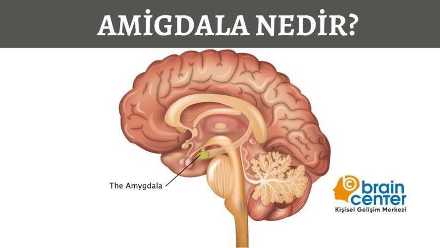 insan beyni amigdala nedir